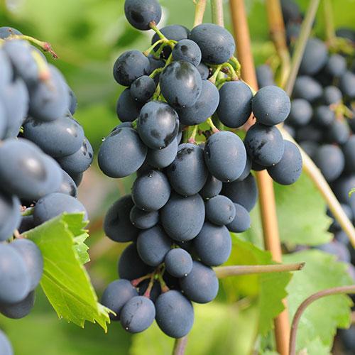 wino zielonogórskie